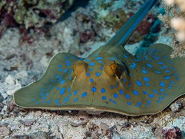 Moray-Eel-Ray